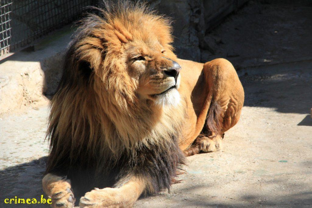 Зоопарк в Ялте: царь зверей