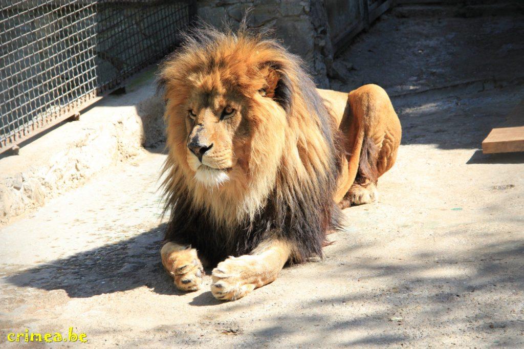 Зоопарк в Ялте: лев