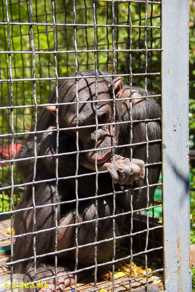 Зоопарк в Ялте, горилла