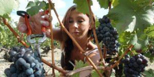 Сбор винограда в Крыму
